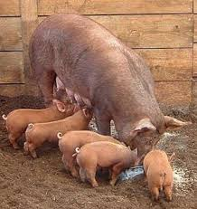 mom pig and babies.jpg